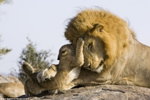 week old lion cub meets his dad for the first time