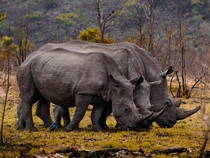 White Rhinos lined up