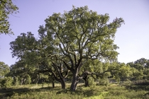 year old cork oak tree in Portugal