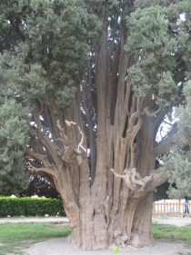 year-old Cypress of Abarkuh Iran