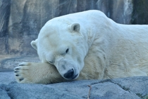 year-old male polar bear Ursus maritimus Lyutyik or Louie at Alaska Zoo Anchorage  x-post rpolarbears