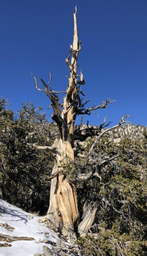 year old tree Bristlecone Pine Forest White Mountains CA November