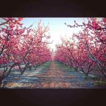 yr old Last Chance Peach trees in bloom in the high desert of Southern California