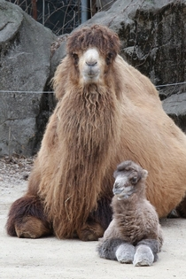 A baby Bactrian Camel Camelus bactrianus with its mother