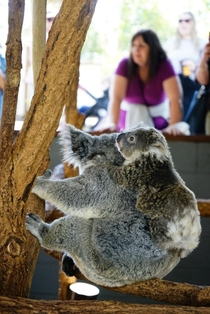 a baby koala with his mother