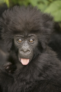 A baby mountain gorilla in Rwanda being a bit cheeky OS