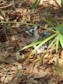 A baby ring-tailed lemur Lemur catta exploring the forest