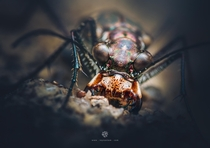 A badass tiger beetle up-close