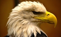 A Bald Eagle Haliaeetus leucocephalus Blinded by Malaria