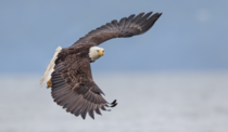 A bald eagle taking off from the oysters bed in Seabeck Washington