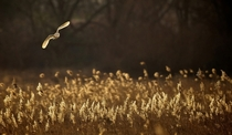 A Barn Owl hunting over Norfolk reeds at dusk