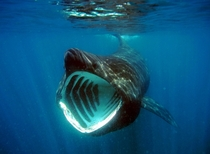 A Basking Shark feeding Cetorhinus maximus