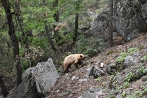 A bear hiking its way up the John Muir Trail Yosemite National Park California