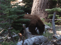 A bear I stumbled across in Sequoia NP