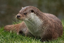 A beautiful european otter chilling on the grass