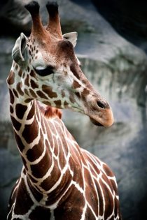 A beautiful giraffe x-post from rgiraffes