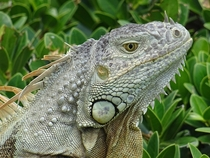 A beautiful iguana just chilling more in comments