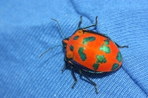 A beautiful jewel bug from Byron Bay New South Wales
