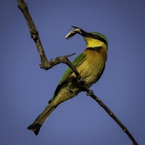 A beautiful little bee-eater with cricket lunch in Kruger National Park He started smashing the cricket against the branch to break its exoskeleton before swallowing down whole