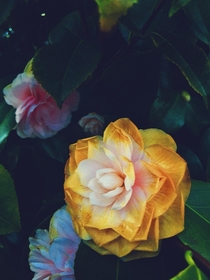 A beautiful little flower I came across the other day Photo taken by me I believe its some kind of camellia Anyone know