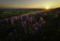 A beautiful lupine patch soaks in the last light of the evening Palouse WA