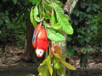A beautiful Macaw parrot playfully hanging upside down from a tree branch in the Amazon jungle of Peru