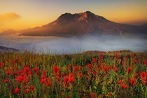 A Beautiful meadow of wildflowers at Mt St Helens - Johnson Ridge Observatory Washington Photo by Kevin McNeal
