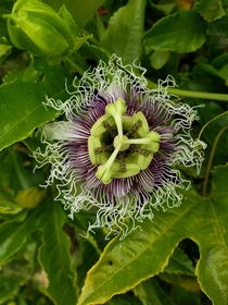 A beautiful passionflower Passiflora incarnata in San Diego The flower has traditionally been used as a mild sleep-aid and stress-releiver