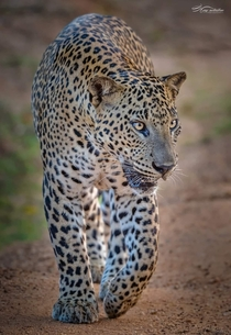 A beautiful picture of an African leopard in Serengeti national park Africa
