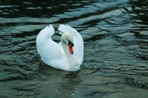 A beautiful swan putting on a show- Himley England  x