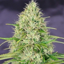 A beautifull specimen of Canabis sativa or more commonly known as Amnesia Haze