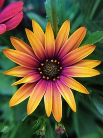 A beautifully coloured river daisy
