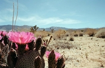 A Beavertail Cactus in Bloom