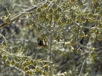 A bee loads up on pollen from California Sagebrush Artemisia californica on this mornings hike