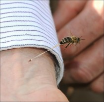 a bee sting in action