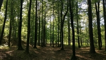A beech forest near my home in Norway