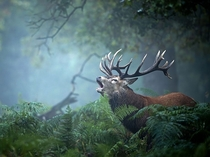 A bellowing Red Deer stag in the United Kingdom October