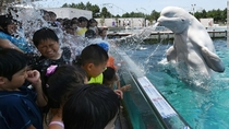 A beluga whale Delphinapterus leucas sprays water at visitors in Japan