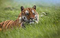 A Bengal tiger Panthera tigris tigris sitting in the grass