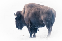 A bison outside of Denver last winter That was a freezing day which would be welcomed right now