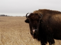A bison picking his nose with his tongue