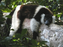 A black and white ruffed lemur