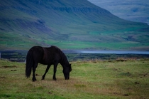 A black horse in Iceland