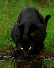 A black panther drinking water
