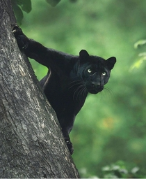 A Black Panther in the Jungles of Kabini India