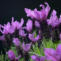 A blast from the past  SpanishTopped lavender Lavendula stoechas