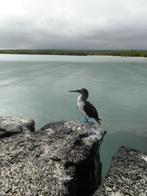 A Blue-footed Booby Sula nebouxii in Tortuga Bay Galpagos