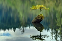 A bonsai on Fairy lake in Vancouver Island BC  X-Post from rpalatecleanser