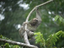 A Brown Throated Three Toed Sloth Bradypus variegatus hanging from a branch