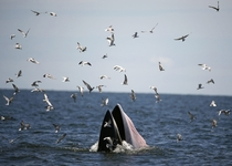 A Brydes whale feasting on anchovies in the Gulf of Thailand Sept   Photo by Rungroj Yongrit  x-post rwhales